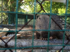 My friend, the porcupine