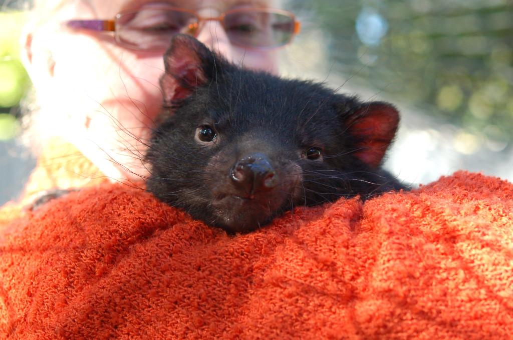 Tasmanian Joey (baby)