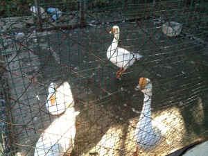 The geese. Once confined to this enclosure with only rice and sporadic periods of water. Now free.