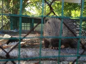 My friend, the porcupine